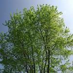 Copac infrunzit